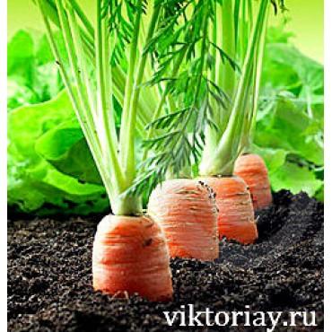 """Морковь сорт: """"Московская зимняя"""""""