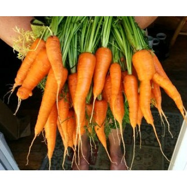 """Морковь сорт: """"Витаминная"""""""