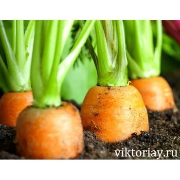 "Морковь сорт: ""Сластена"""