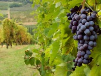 Решетка для плетения винограда
