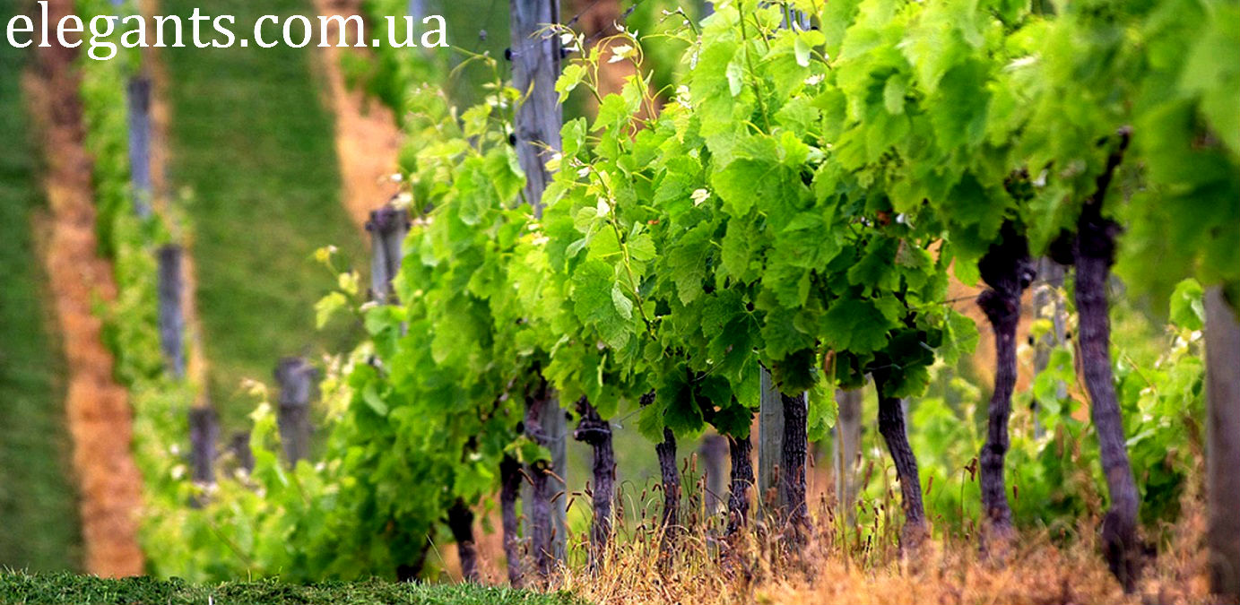 как уберечь виноград от вредителей и болезней ,лоза,виноградная лоза,виноград